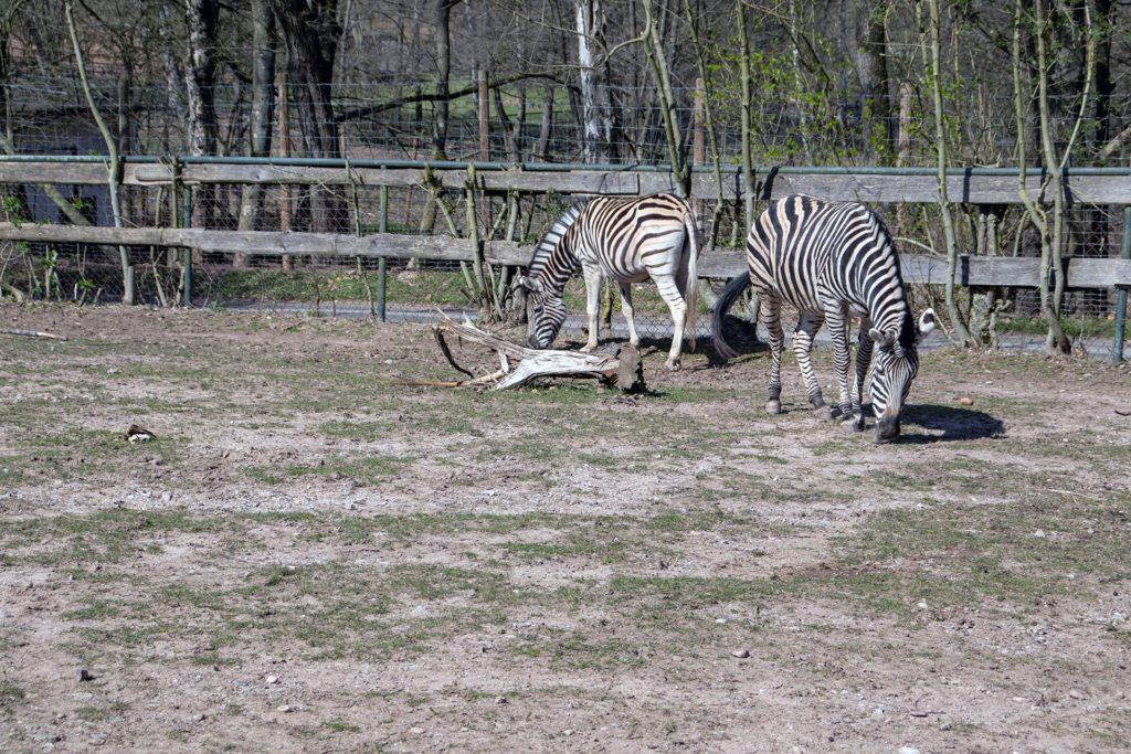 Zebras im Neunkircher Zoo