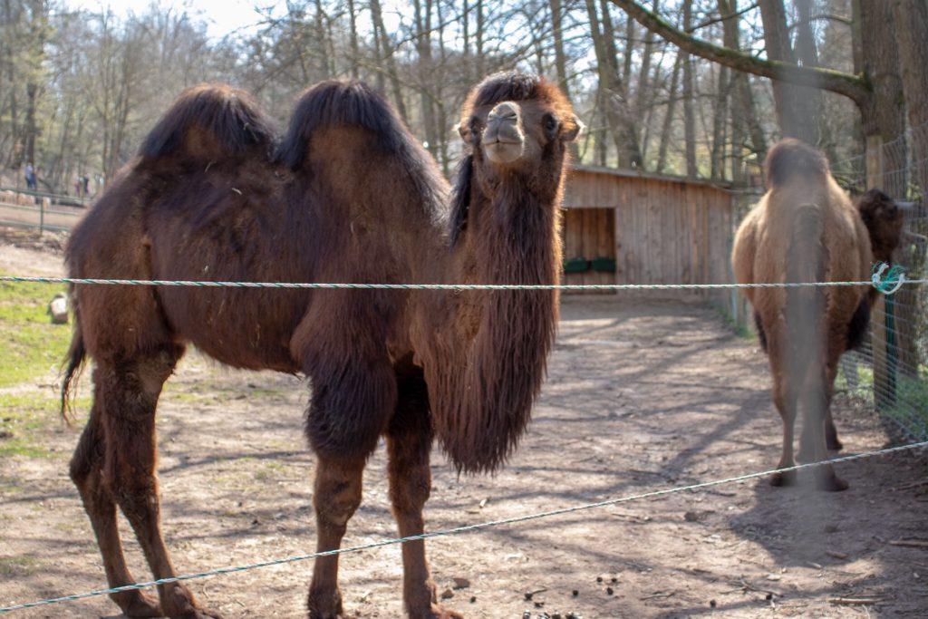 Kamel im Zoo Neunkirchen
