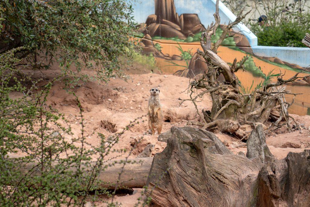 Erdmännchen im Neunkircher Zoo