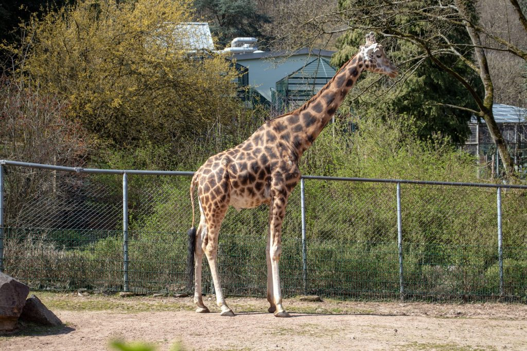 Giraffe im Neunkircher Zoo