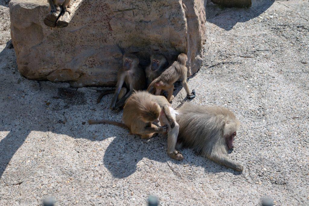 Paviane im Zoo in Neunkirchen